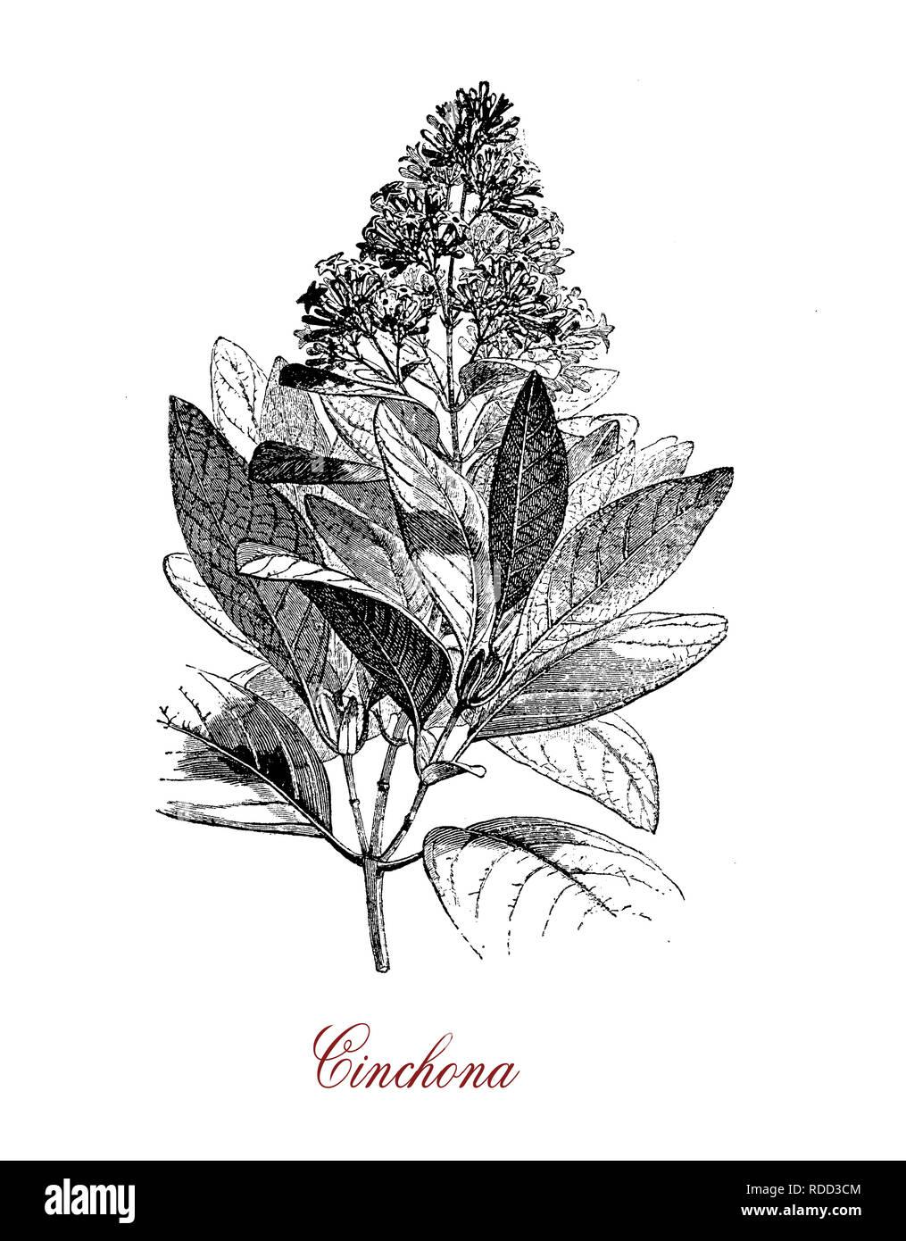 Vintage incisione botanico di chincona, medicinali di origine vegetale per la chinina, native della foresta Andina. China ha opposte foglie lanceolate, piccoli fiori in pannocchie e il frutto è una capsula con semi Immagini Stock