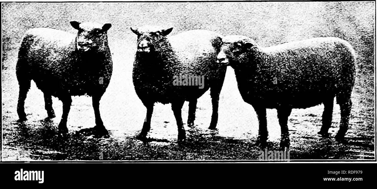 Tipi e razze di animali da fattoria . Bestiame. Il SOUTHDOWN 385 La critica  . 6b3a4275121