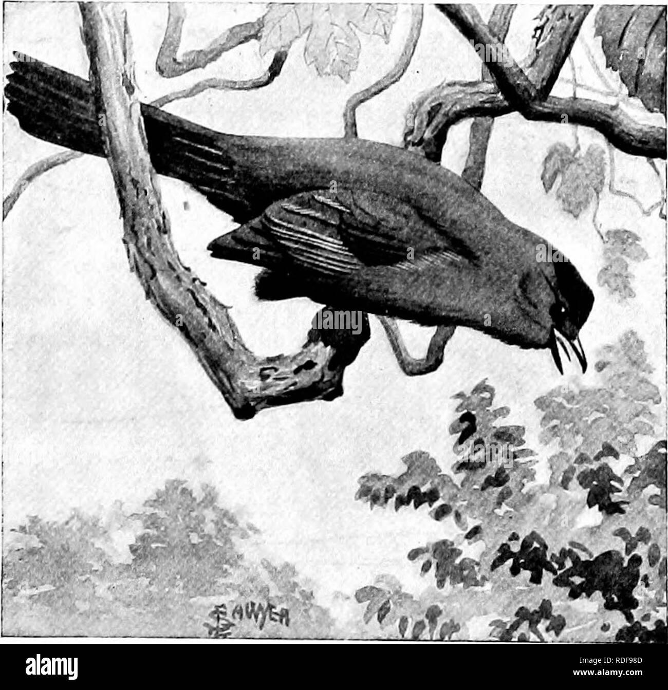 . L'American Natural History; una base di conoscenze utili degli animali superiori del Nord America. Storia naturale. Casa-WREN. iike la plaintive mew di un semi-cresciute gattino. La sua prevalente è di colore scuro, slaty grigio. Il Mocking-Bird,i degli stati a sud del fiume Ohio, è una meraviglia di canto. Si tratta di un piccolo fascio di nervi, coperto con modesti scialbi piume e la sua gola è sintonizzato fino al passo di concerto. Quando è silenzioso, può essere riconosciuta dal suo corpo sottile lungo le gambe e lunga coda; ma quando si tratta di cantare, solo un sordo ha bisogno di un'in- lessici tematici interforze. Questo uccello può anche essere riconosciuto b Immagini Stock