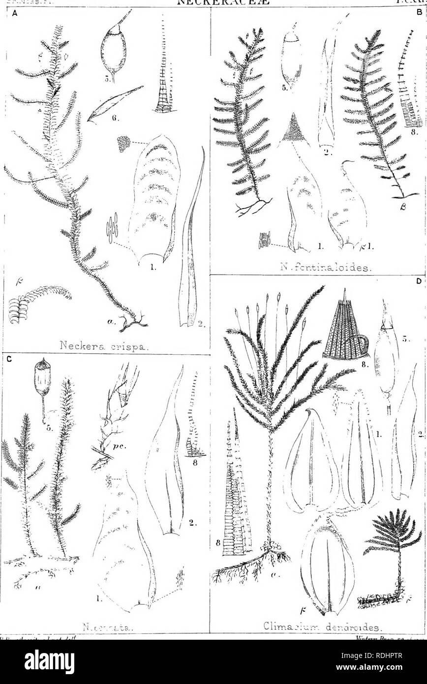 """. Il British moss-flora. Muschi. NECKERACE^ T.CXXI.. Annuncio RMraiihfaitf vai JpP Mtn^em^configurazioni pronte per l'uso.Sf^.""""^ i. Si prega di notare che queste immagini vengono estratte dalla pagina sottoposta a scansione di immagini che possono essere state migliorate digitalmente per la leggibilità - Colorazione e aspetto di queste illustrazioni potrebbero non perfettamente assomigliano al lavoro originale. Braithwaite, Robert, 1824-1917. Londra Immagini Stock"""