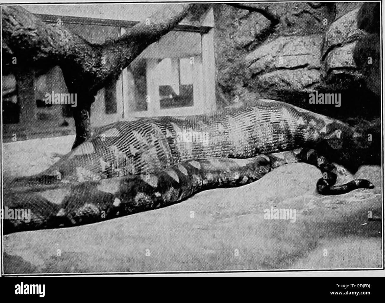 . Bestie & uomini; essendo le esperienze per mezzo secolo tra animali selvatici;. Animali. Rettili IN CATTIVITÀ 179 trattare grosse prede non ho alcun dubbio sul fatto che un full-cresciute Borneo python potrebbe facilmente inghiottire un uomo. Qualsiasi serpente di da diciotto a venti piedi lungo è abbastanza forte da schiacciare un uomo a morte se solo si può ottenere lui correttamente racchiuso nelle sue spire. Alcuni anni fa una polemica iniziata nel i giornali inglesi come a quale lunghezza serpenti potrebbe correre a. È stato affermato che vi erano tipi che ha raggiunto i trenta o quaranta piedi e un viaggiatore offerto per produrre uno a sostegno del suo sta Immagini Stock