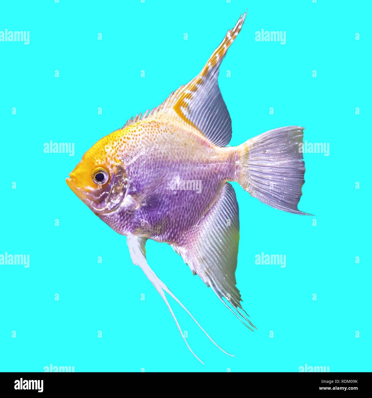 Tropical striato pesce di acqua dolce in un acquario foto for Pesce pulitore acqua dolce