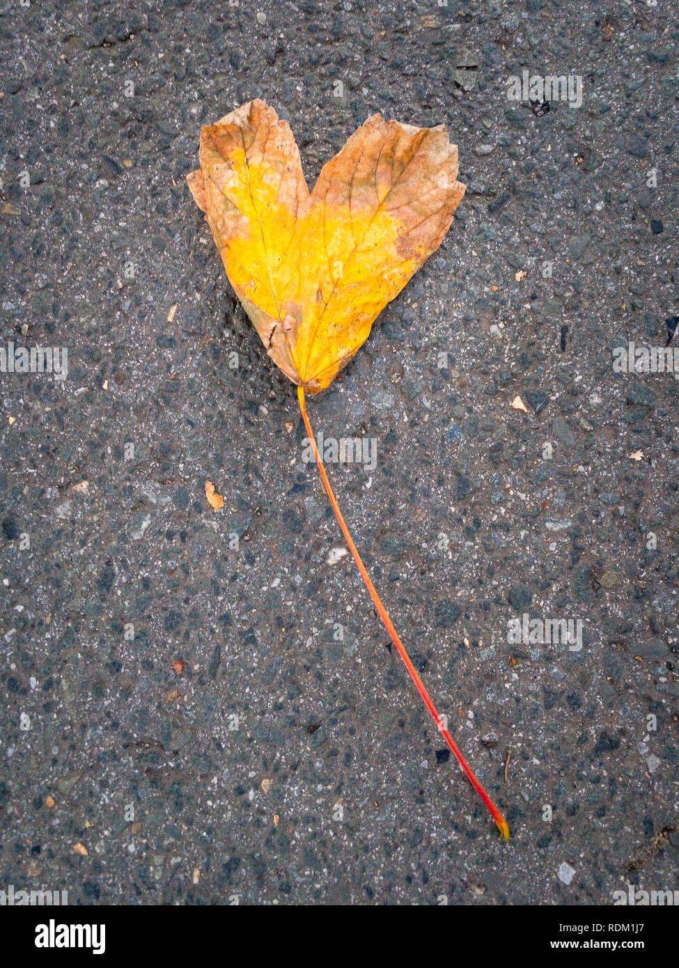 Una gialla singola foglia fogliame a forma di cuore che giace su una strada Foto Stock
