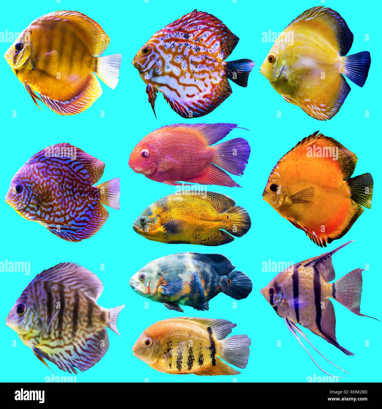Undici Pesci Di Acquario Foto Isolato Su Sfondo Blu Sito Circa La