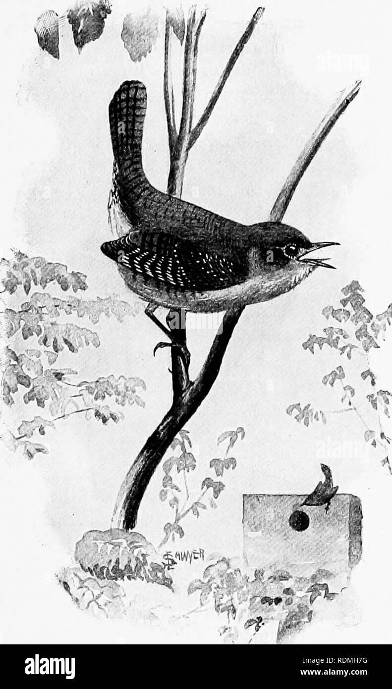 . L'American Natural History : una fondazione di conoscenze utili degli animali superiori dell' America del Nord . Storia naturale. Il beffardo-BIRD 181;. Â ?S ;v CASA-WEEN. come la plaintive mew di un semi-cresciute gattino. La sua prevalente è di colore scuro, slaty grigio. Il Mocking-Bird,1 degli stati a sud del fiume Ohio, è una meraviglia di canto. Si tratta di un piccolo fascio di nervi, coperto con modesti scialbi piume e la sua gola è sintonizzato fino al passo di concerto. Quando è silenzioso, può essere riconosciuta dal suo corpo sottile lungo le gambe e lunga coda; ma quando si tratta di cantare, solo un sordo ha bisogno di un'in- lessici tematici interforze. T Immagini Stock