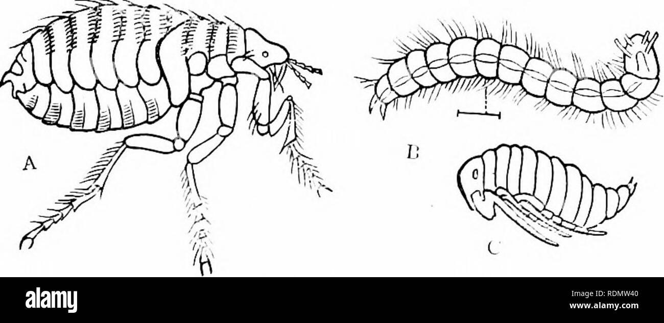 . Libro di testo di zoologia per studenti junior. Zoologia. OUDERS DI IXSECTS. io: meiitaiy, essendo rappresentata da quattro minuti di scale poste su gli ultimi due segmenti del torace (fig. 121). La larva della Pulce comune è un footless grub, che in circa dodici giorni gira un bozzolo. Fi^. 121.-A, la pulce comune {Pulex irritaiis) ; B, larva della stessa ; C, Tujia dello stesso. Tutte le figure sono grandemente maguitied. (Dopo Westwood.) per se stesso e diventa un pujja quiescente, da cui la imago emerge in circa una quindicina di giorni di più. (_)KDKH IX. DU'TER.V. Gli insetti di questo onler, come implica il suo nome, ha Immagini Stock