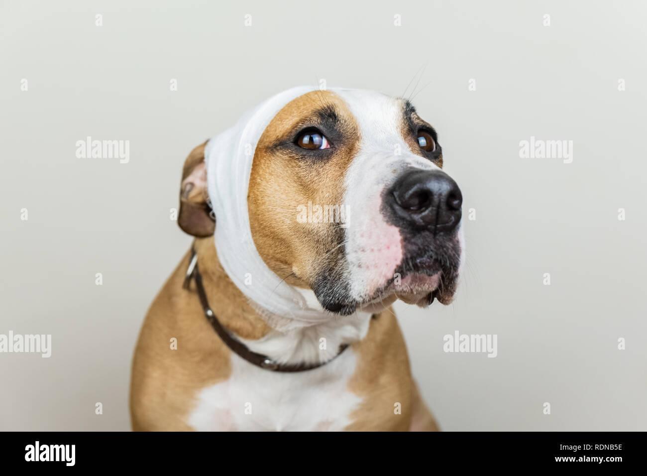 Malati o feriti il concetto di pet. Ritratto di cane con la testa fasciata a sfondo bianco Immagini Stock