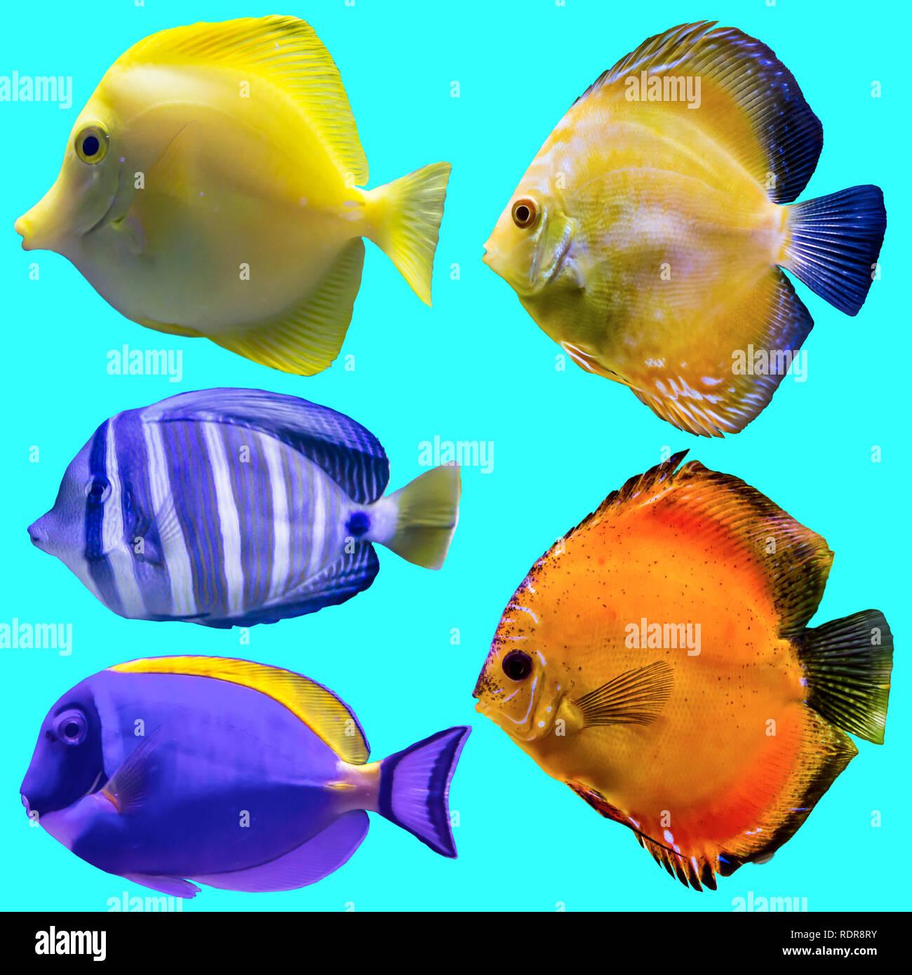 Cinque Pesci Di Acquario Foto Isolato Su Sfondo Blu Sito Circa La