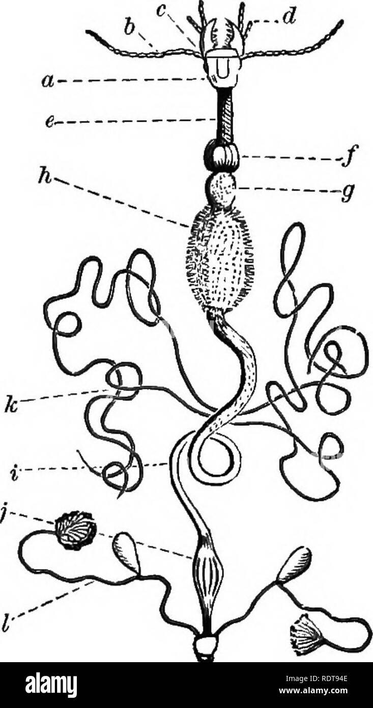""". Quattordici settimane di zoologia. Zoologia. Sfaccettature qf il Eije di un Insetto. La metamorfosi.-Il giovane insetto passa attraverso una serie di cambiamenti prima di raggiungere la forma dell'adulto. Così, una tarma, fuoriuscendo dall'uovo, appare come una larva ; se con le gambe, un caterpillar; se senza un grui o verme. Tutta la sua attività è ora di mangiare e quindi in questa fase è più diqestort appabatot op insetti.- pregiudizievole per la vegetazione. Dopo l^'^^^-^^Ts^.^fTZ). ripetuto molts, per consentire g. Oizmra; h. stomaco; I. intestino; l'ampliamento del suo corpo, ^ZJa^: ^""""""""'^ '""""'""""^' '' ^ di solito Foto Stock"""