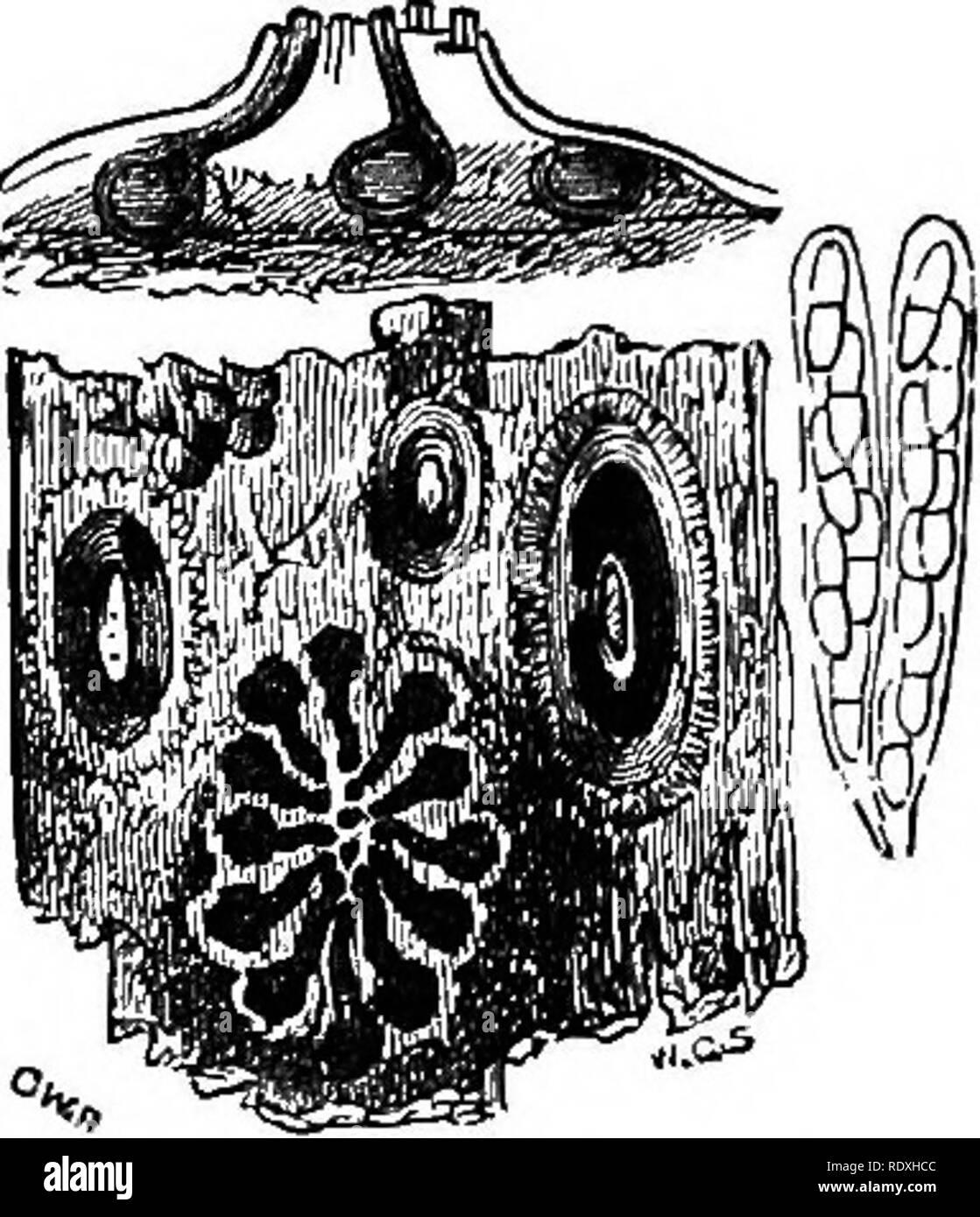 . Introduzione allo studio dei funghi; loro organography, la classificazione e la distribuzione, per l'uso di collettori. Funghi. DICHOCARPISM 67 la superficie del tubercolo, i destinatari da cui sfuggire per qualche tempo onde o di puro spermatia o di spermatia miscelato con stylospores. Entrambi sono di forma ovoidale, ma il spermatia sono incolore e molto più piccolo del stylospores, che sono di colore nero come le spore di un Melanconium. Queste due citazioni sono date a mostrare quello che abbiamo chiamato Dicho- carpism così come è stato presentato alla vista di chi ha realizzato molto a dimostrazione del fatto che Foto Stock