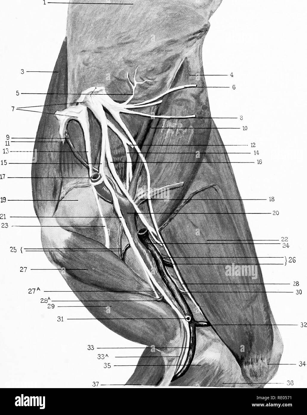 La anatomia chirurgica del cavallo ... I cavalli. Piastra VL-dissezione . 6b8144a10756