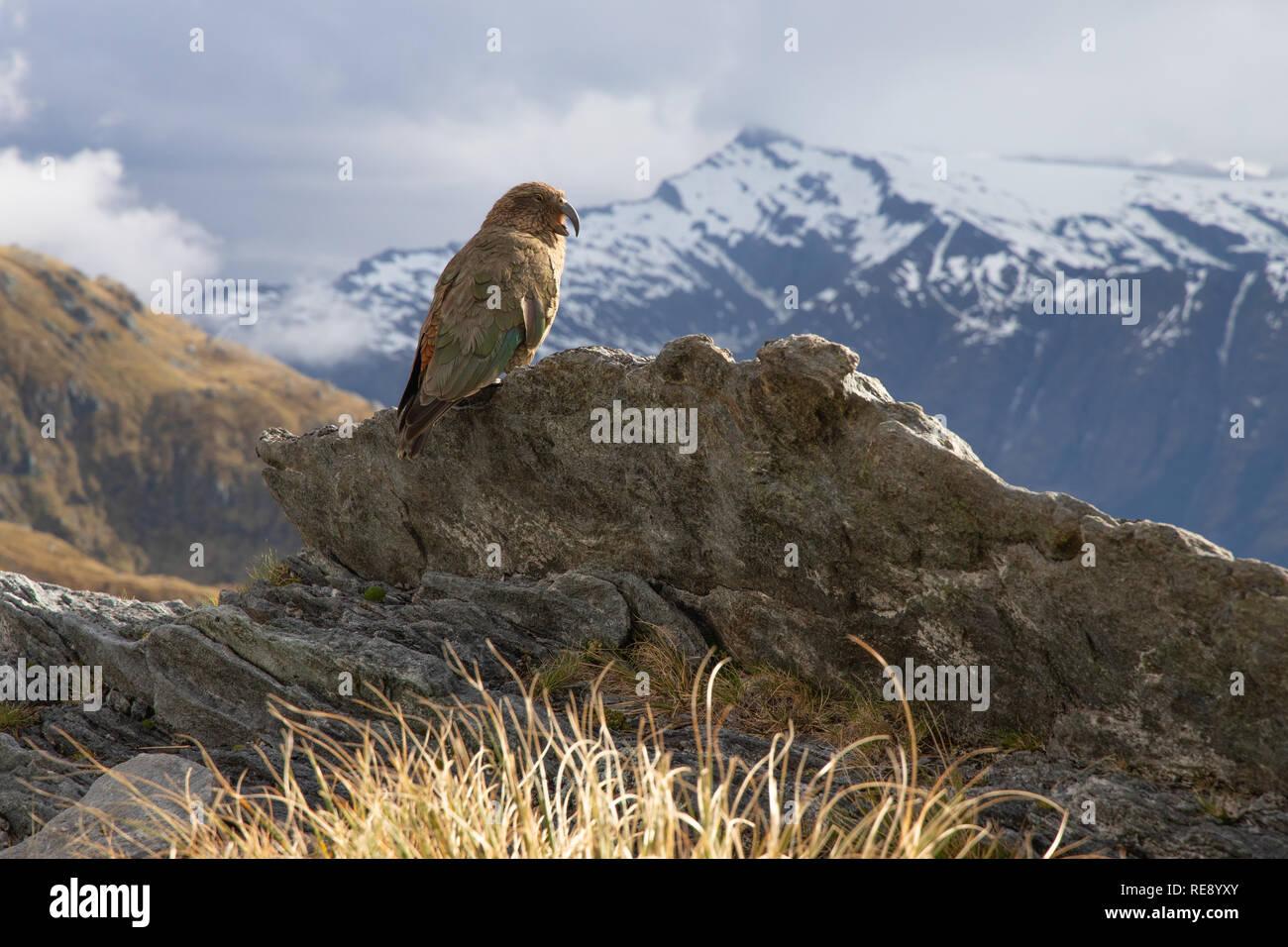 Kea nelle montagne di South Island, in Nuova Zelanda Immagini Stock