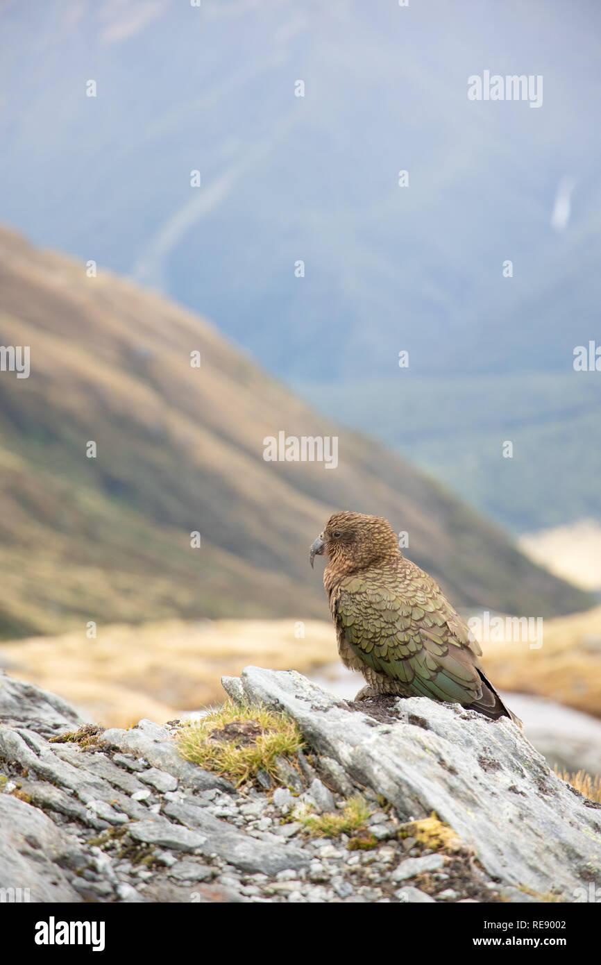 Kea, Nuova Zelanda Immagini Stock