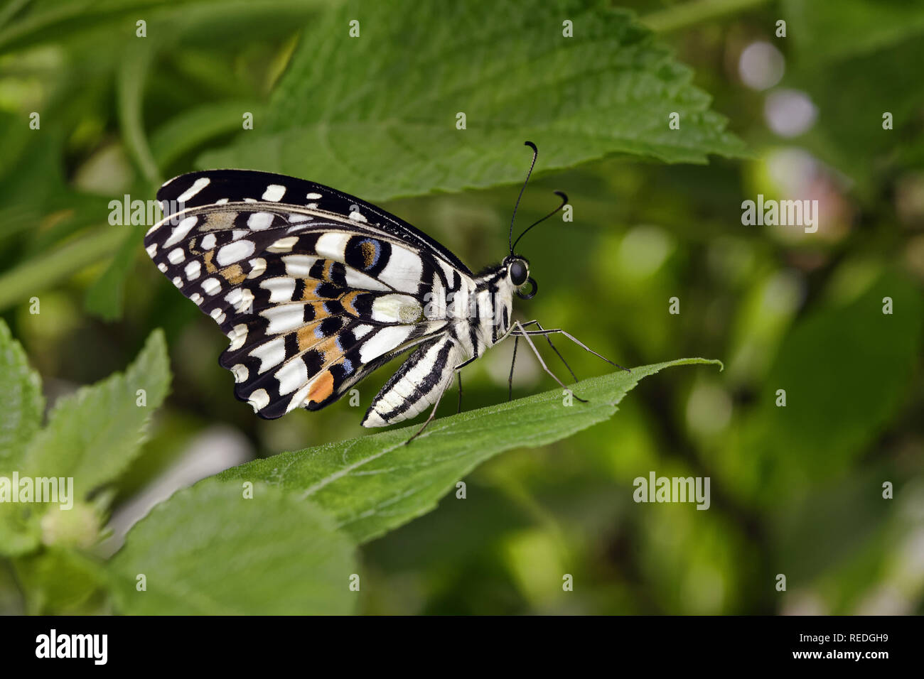Lime butterfly - Papilio demoleus Immagini Stock