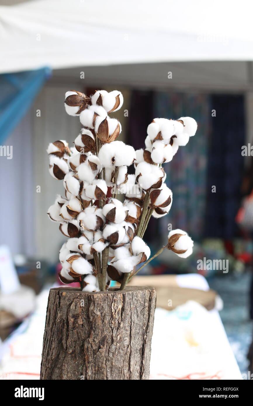 Pianta di cotone rami. Secchi fiori di cotone bianco e marrone . Morbidezza naturale tessile greggio sfondo. Fiver naturale pura e pulita del concetto. Immagini Stock