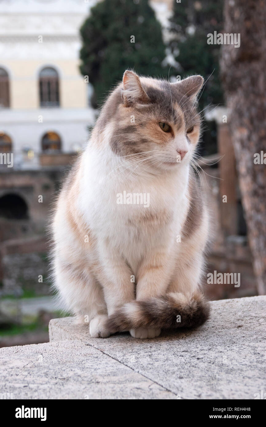 Europa Italia Roma Largo di Torre Argentina Home del gatto Santuario e rovine romane Immagini Stock