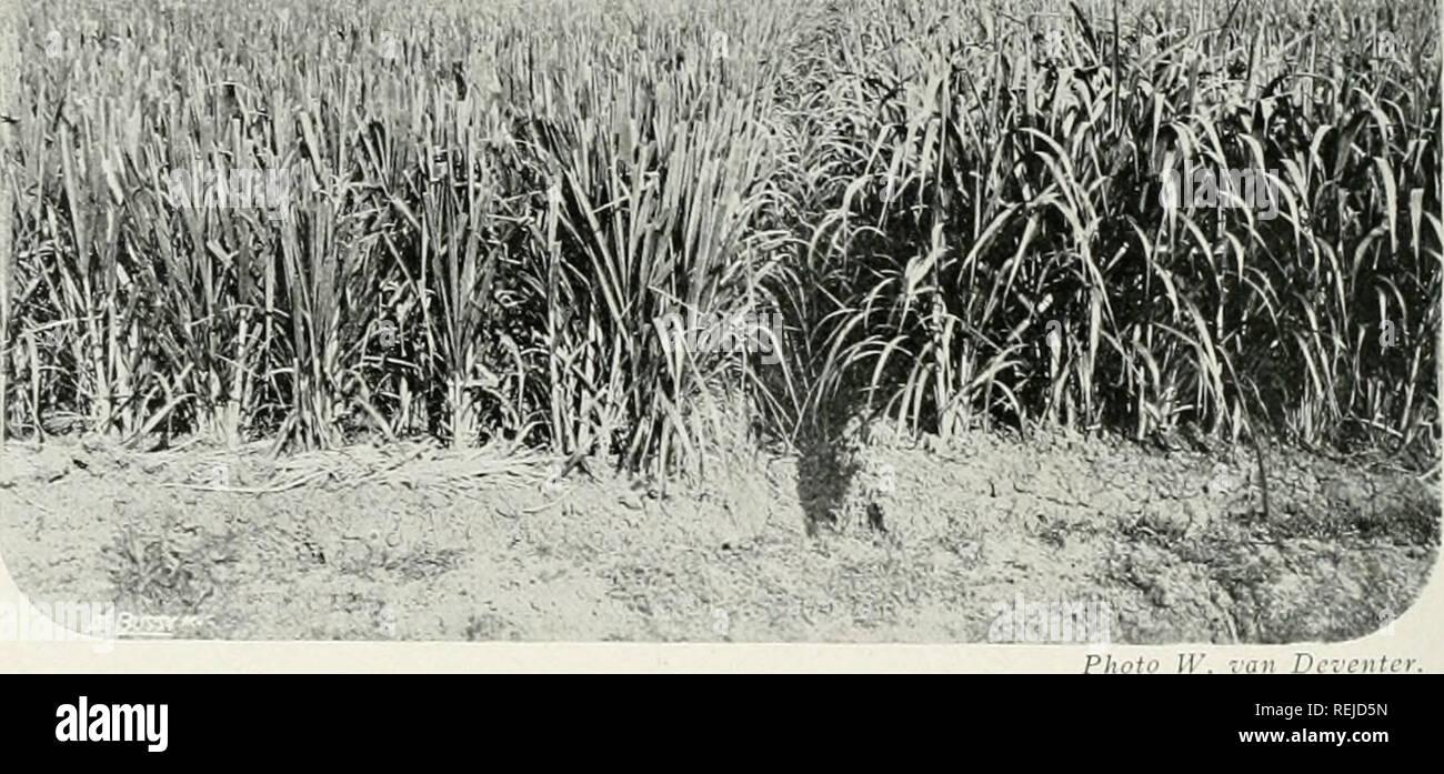 . Il dott. K.W. van Gorkom's Oost-Indische culture. Opnieuw uitg. onder redactie van H.C. Prinsen Geerligs. [Porta J.P. van der Stock et al.]. Agricoltura; Agricoltura; piantagioni. 170 Bovenstaande gevallen zijn alle terug te brengen tot de aan- wezigheid van een teveel aan plantenvoedende stoften in den grond, tot een schadelijke overmaat, die het winnen van den meest gewenschten oogst in den weg staat. Een door de praktijk sinds lang toegepast middel hiertegen è om een voorgewas, gewoonlijk rijst, het teveel weg te laten nemen en daarna eerst het andere cultuiirgewas te laten volgen. Rijst zelf Immagini Stock