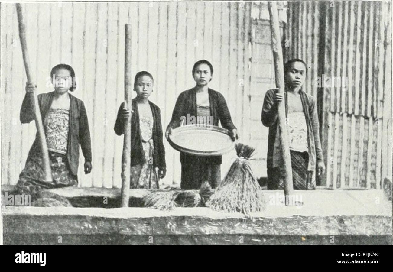 . Il dott. K.W. van Gorkom's Oost-Indische culture. Opnieuw uitg. onder redactie van H.C. Prinsen Geerligs. [Porta J.P. van der Stock et al.]. Agricoltura; Agricoltura; piantagioni. V. Dorschen, doppen en pellen van de Rijst. Wanneer de rijst goed droog- è, kan zij de verdere bewerkingen ondereaan.. ≪0-^ * Ê^^^8I^^^^ Fig. IQ. Rijststampen. Gli uomini onderscheidt daarbij dorschen het, het doppen en het pellen. Onder dorschen verstaat uomini het scheiden van de gaba en het stroo; onder doppen, het verwijderen van de kroonkafjes van de gaba; onder pellen het verwijderen van de zaadhuid (zilvervlies). Het str Immagini Stock