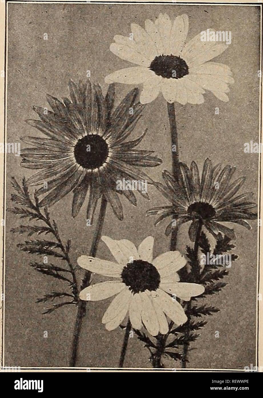 Semi Fiori Online.Cosmos Bipinnatus Hanno Louette 100 Semi Fiore Annuale Hardy