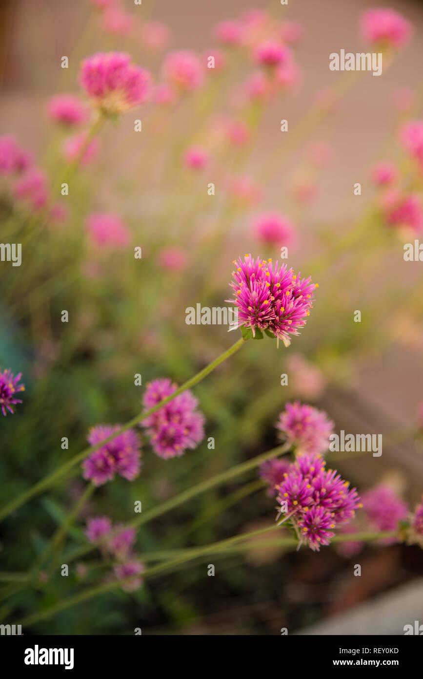 Gomphrena globosa o fiore di fuochi d'artificio. Fiore violaceo nel disco solare. Immagini Stock