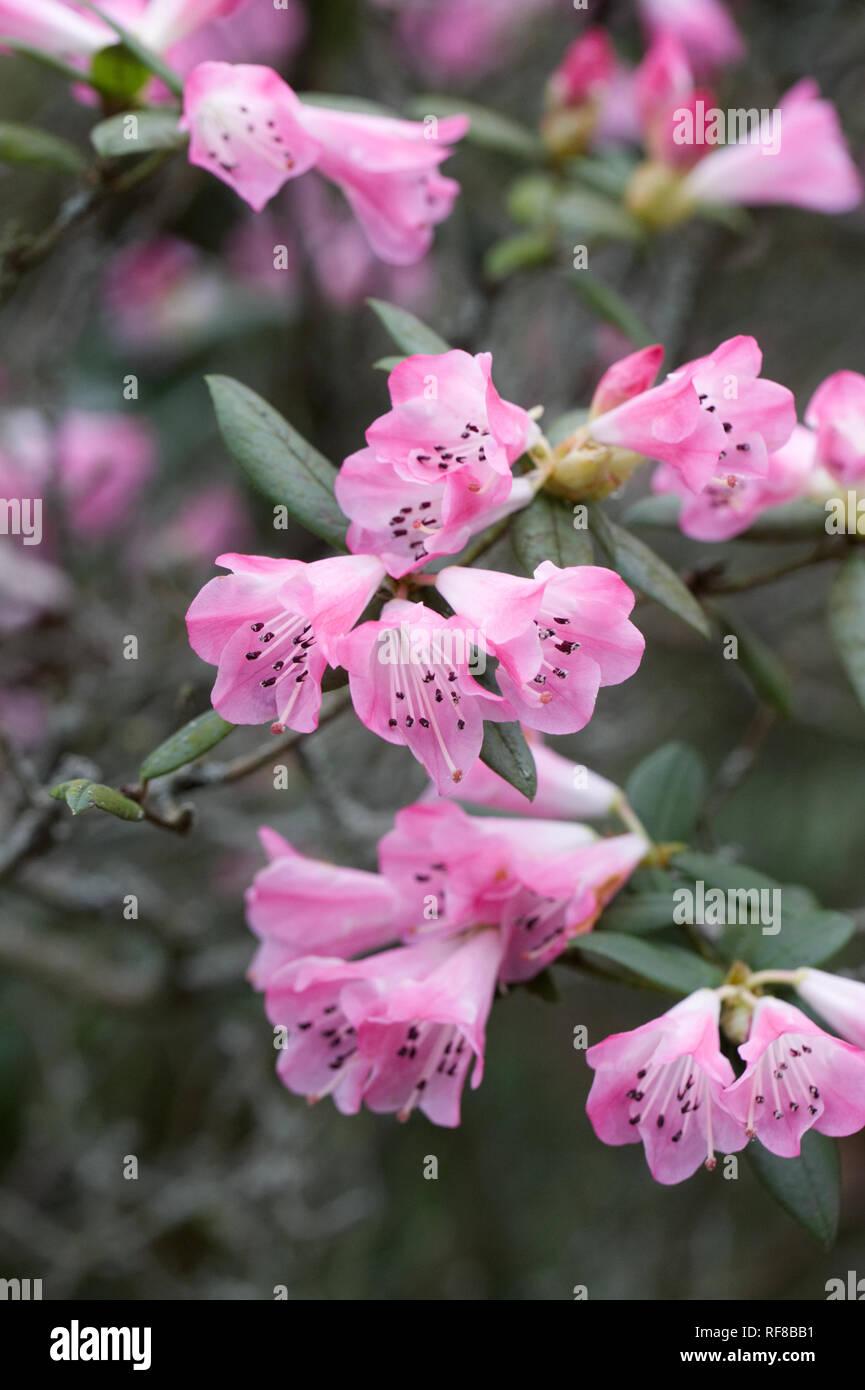 Rhododendron Seta fiori di gruppo. Immagini Stock