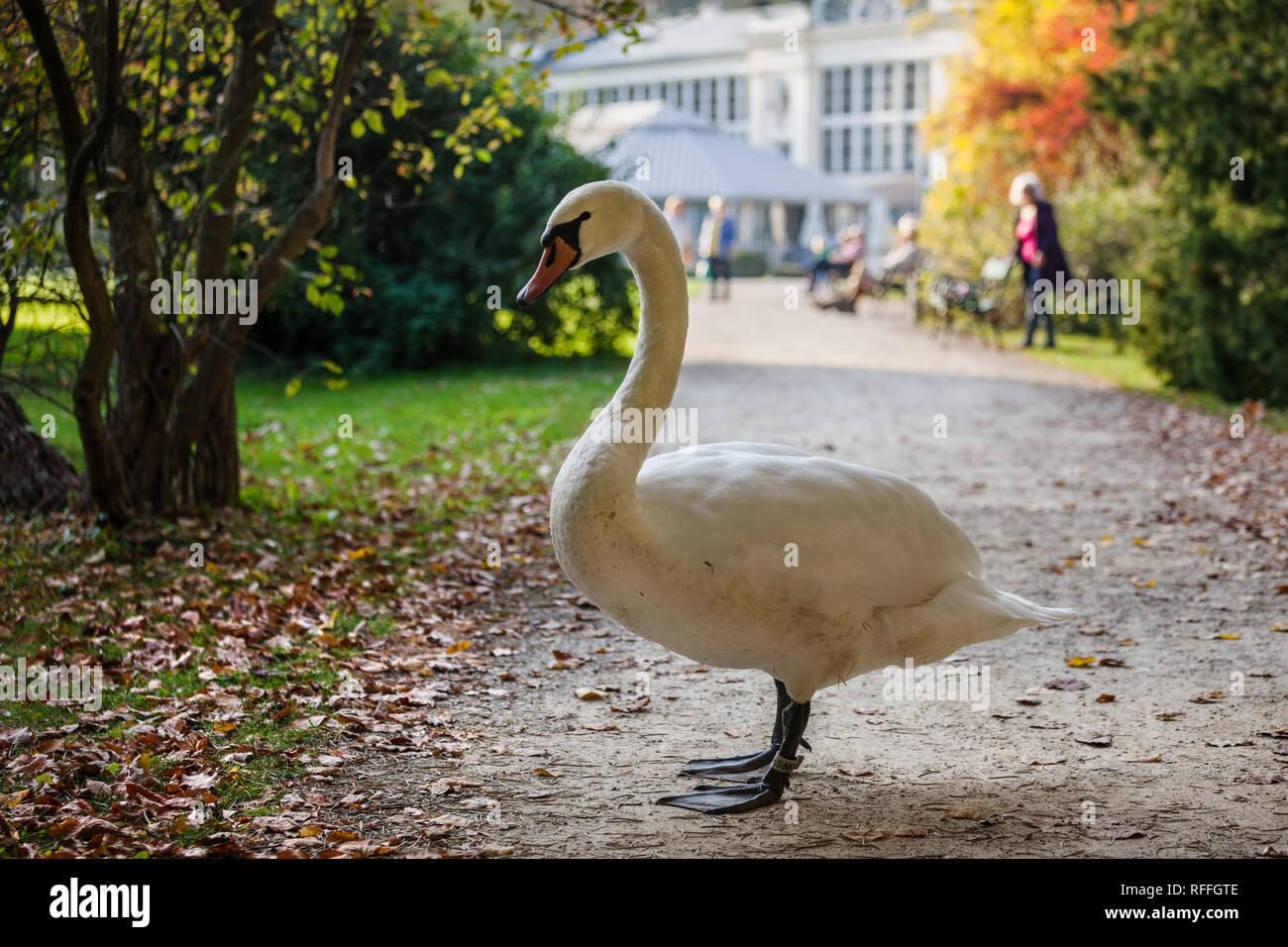 Grandi swan bloccando il vicolo in Royal Parco Lazienki a Varsavia, Polonia Immagini Stock