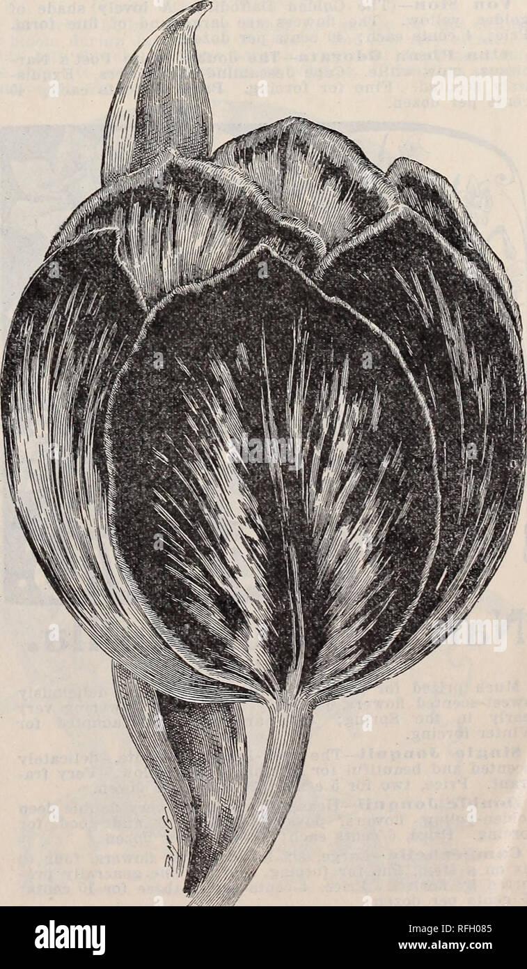 """. Gemme floreali per la fioritura invernale. Vivai (orticoltura) Ohio Springfield cataloghi; piante ornamentali, cataloghi; fiori cataloghi; lampadine (piante) Cataloghi. Crochi. Il Crocus è uno dei primi fiori di primavera, e uno dei migliori per la fioritura in aula durante l'inverno. Fioriscono splendidamente quando piantati sul prato tra l'erba. Essi sollevare le loro teste brillanti fino attraverso la zolla molto presto e dare il prato con un affascinante aspetto. Il genere che offriamo sono forti e belle. Prezzo, denominato ordina, 10 cts. per dozzina; misto, 8 cts. per dozzina. Mont Blanc-bianco purissimo, molto grande fiore. Bai""""su Foto Stock"""