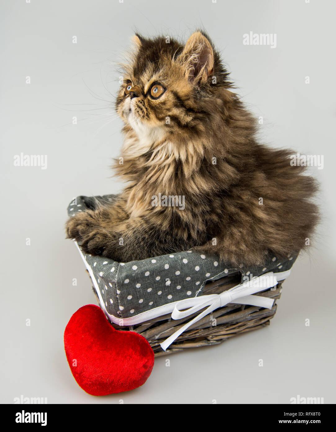 Bellissimo Gattino Persiano Gatto Con Cuore Rosso Nel Cestello Foto