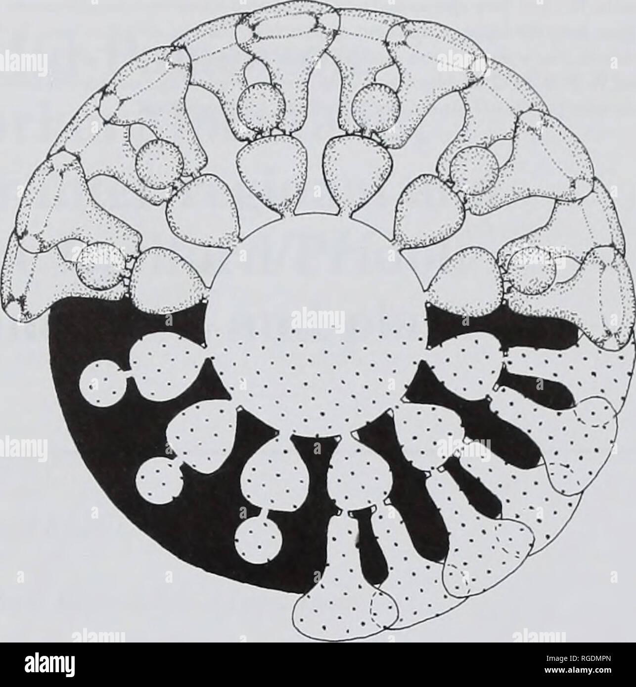 . Bollettino della Naturale Museo Histort. Geologia serie. Affinità sistematiche di ACROPORELLA ASSURBANIPALI 113 la variabilità oftlie specie e alcuni caratteri qualitativi come la forma di tallo, lateral e organi riproduttivi avrebbe richiesto più abbondante materiale. Il tallo è apparentemente cilindrico e semplice. Lateral primario sono disposti a chiudere moderatamente vortici. La loro posizione tra i vortici, alternati o in continuità, non è evidente. Tuttavia essi sono phloiophorous e piuttosto forti, quasi perpendicolare all'asse dello stelo. La sezione trasversale dei pori primario è Foto Stock