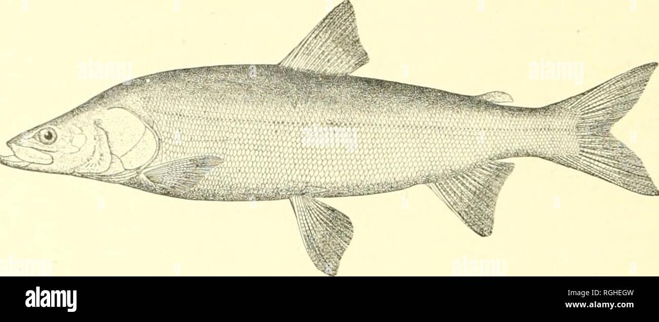 . Bollettino dell'Ufficio di presidenza di pesca. Pesca; cultura di pesce. 236 BOLLETTINO DELL'UFFICIO DI PRESIDENZA DI PESCA. 26. Stenodus mackenzii (Richardson). Inconnu. Anche se non gli esemplari sono stati ottenuti da noi questa specie è noto occiu' nelle sorgenti di piastrella Yukon. È stato segnalato a noi dai sigg. Osgood e Maddren che la vide in Yukon nel lilOO. ilr. Presnell, di Chignik Bay, dice che egli vide un esempio 10 pollici lungo ad Eagle città in 189 S che erano state prese d'aria attraverso un buco nel ghiaccio. Ed egli pensa che egli vide un altro, del peso di 3 o 4 libbre, sui quaranta-mile (.'reek.. Fig. 9.-Stonodus macke Immagini Stock