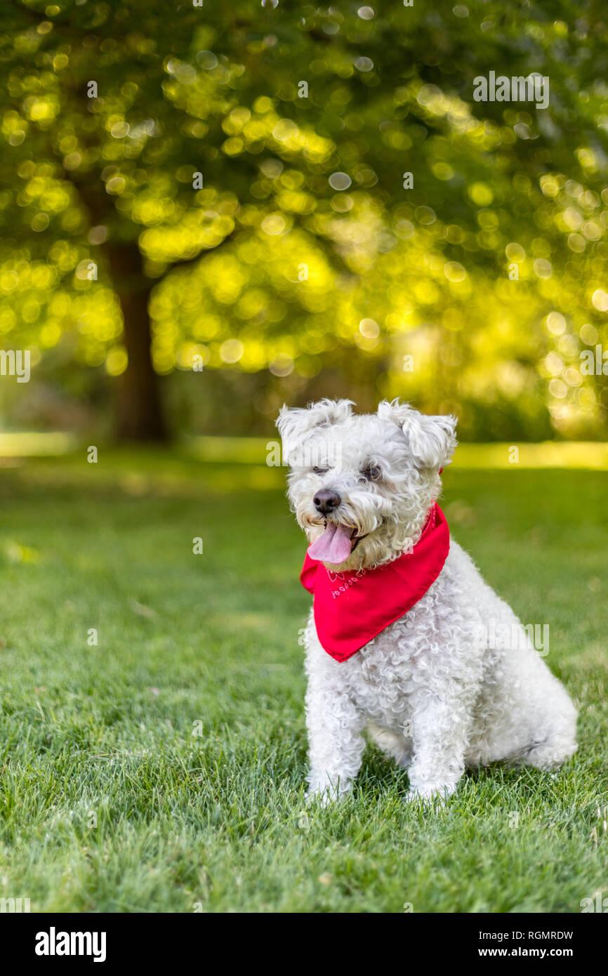Felice piccolo cane bianco con red bandana seduto in erba nel parco su una bella giornata d'estate Immagini Stock