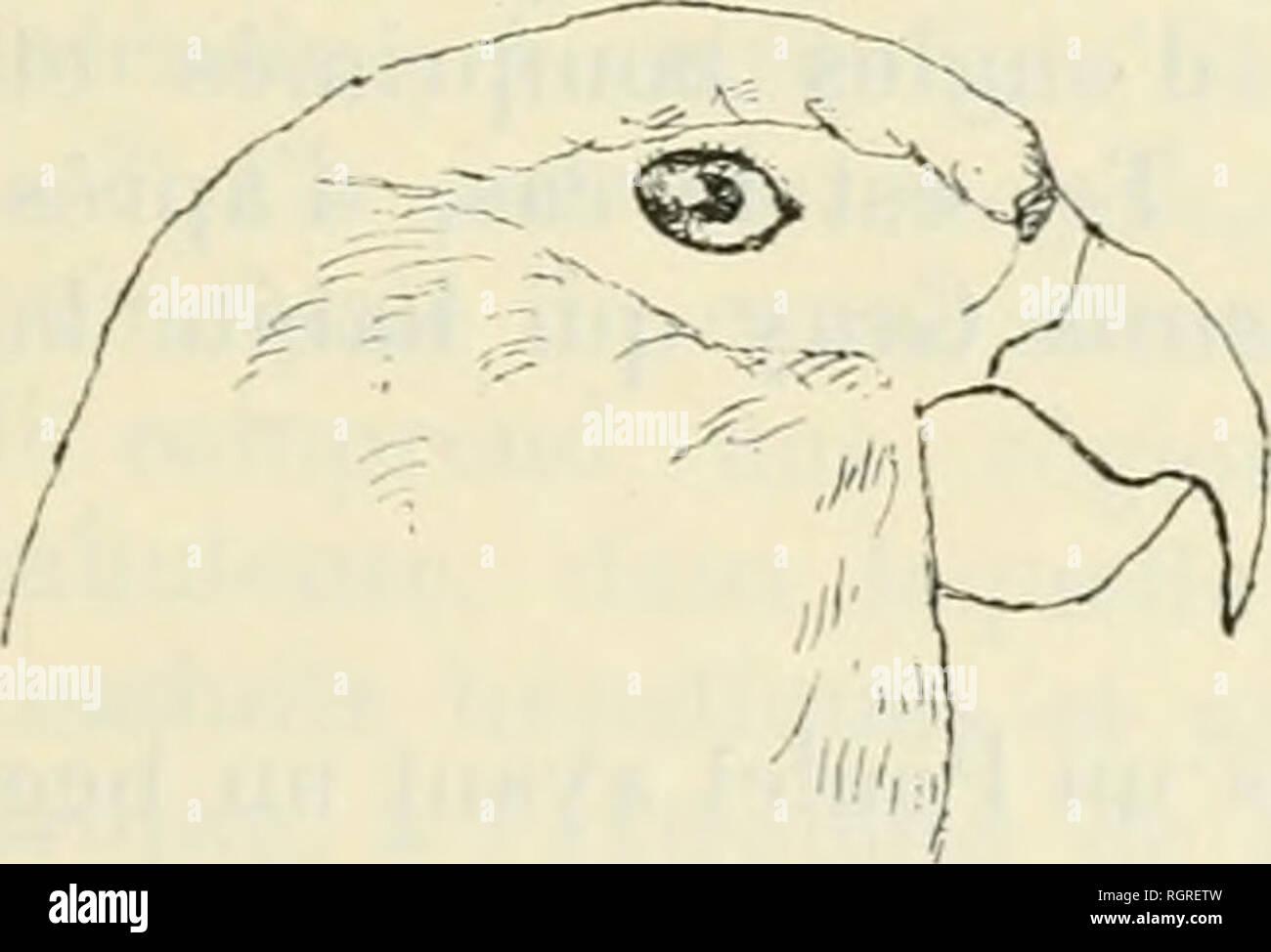 """. Bulletin de la Société zoologique de France. Zoologia. SÃANCE DU 24 DKCE.MllllK 1907 165 3. _ Gk^k,,: ELMINIUS E. plicatus J. E. grigio. Sur coquille d'IIiiitre. Rochers des Praslins et sur fraguients de roches provenant des iles CoÃ""""Livio (Archipel des Seychelles). E. Darw simplex. Sur de lubrificazione Serpulien. Rochers de auto- gados Carajos. 4. - Genrk CREUSIA. C. sphiulosa Leach; Sur Madrépori. Banc de Saya de Malha, par oO mètres de fond. SUR UNE PERRUCHE PRÃSENTANT UNE CURIEUSE DÃFORMATION DU BEC PAR E. TROUESSART M. Trouessart présente, de la parte de M, Petit ahié, qui s'scusa de ne pouvoi Foto Stock"""