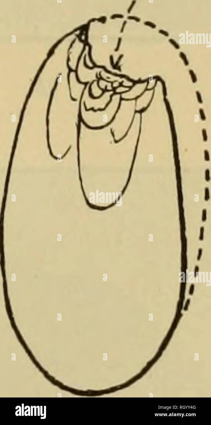 . Bollettino. Etnologia. Fig. 22. Origine accidentale del bordo creseentic e ammaccare la forma del nucleo di ghiaia. a, la freccia indica la direzione del colpo di martello. 6, il fiocco rimosso e la cava leggermente a sinistra del letto, c, il risultato di ulteriori colpi sulla estremità superiore della ghiaia. casi l'estremità fratturata sviluppato una incipiente, ancora puramente adven- titious, bordo che è stato spesso ammaccate e annebbiata in modo tale da presentare l'aspetto di usura da utilizzare in un qualche tipo di operazione manuale. Inoltre non dovrebbe sfuggire all'attenzione che il scavata, gougelike bordo che Immagini Stock
