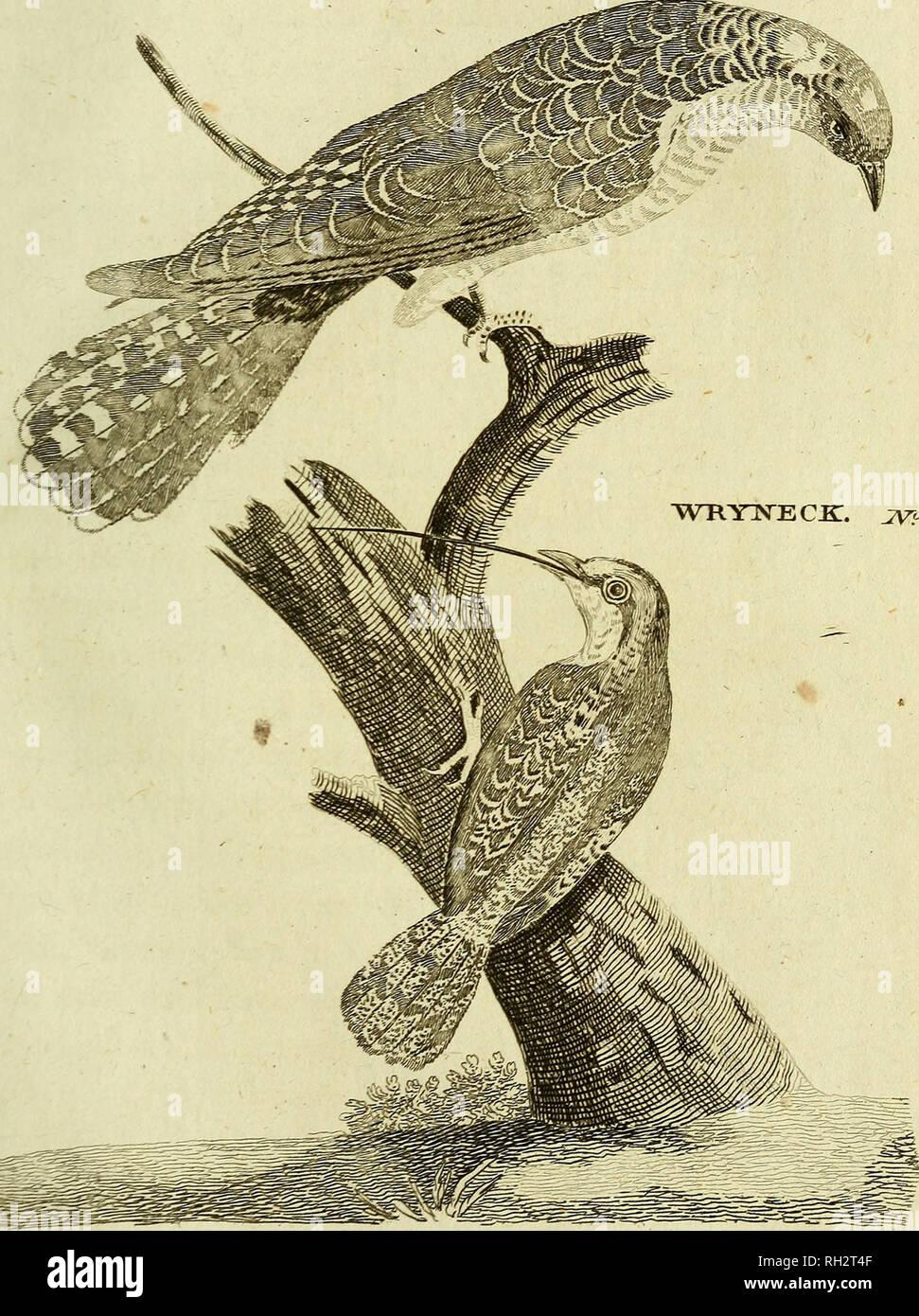 . British zoologia. Vertebrati; Zoologia. JXXXVI F. CUCULO JPP <?2. WRYISTS CJKT. 2VP <?3.. Si prega di notare che queste immagini vengono estratte dalla pagina sottoposta a scansione di immagini che possono essere state migliorate digitalmente per la leggibilità - Colorazione e aspetto di queste illustrazioni potrebbero non perfettamente assomigliano al lavoro originale. Pennant, Thomas, 1726-1798; Berry, S. Stillman (Samuel Stillman), 1887-1984, ex proprietario. DSI; Roper, Clyde F. E. , 1937- , donatore. DSI. Warrington : stampato da William Eyres, per Benjamin bianco . .. , Londra Immagini Stock