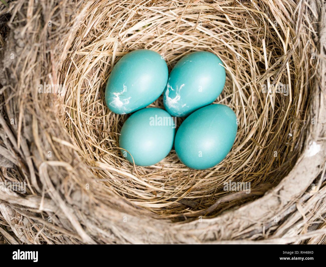 Robin's nido con quattro uova: Quattro blue American Robin le uova in un ben costruito il nido di erbe secche e rametti. Immagini Stock