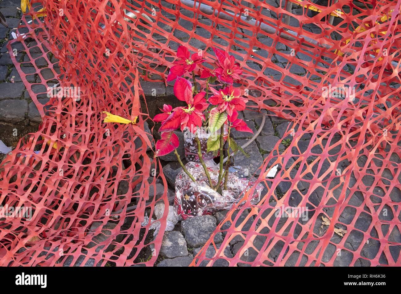Foto Carlo Lannutti/LaPresse 01-02 - 2019 Roma, Italia Cronaca. Piantine di stelle di natale dentro la buca in Largo Corrado Ricci Nella foto: La buca con le stelle di Natale Immagini Stock