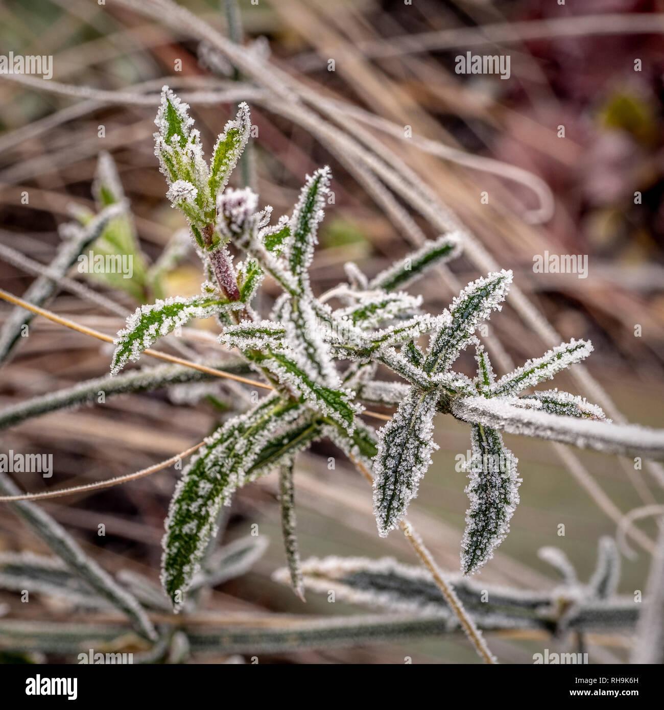 Verbena bonariensis dopo un pesante di gelo. Foto Stock