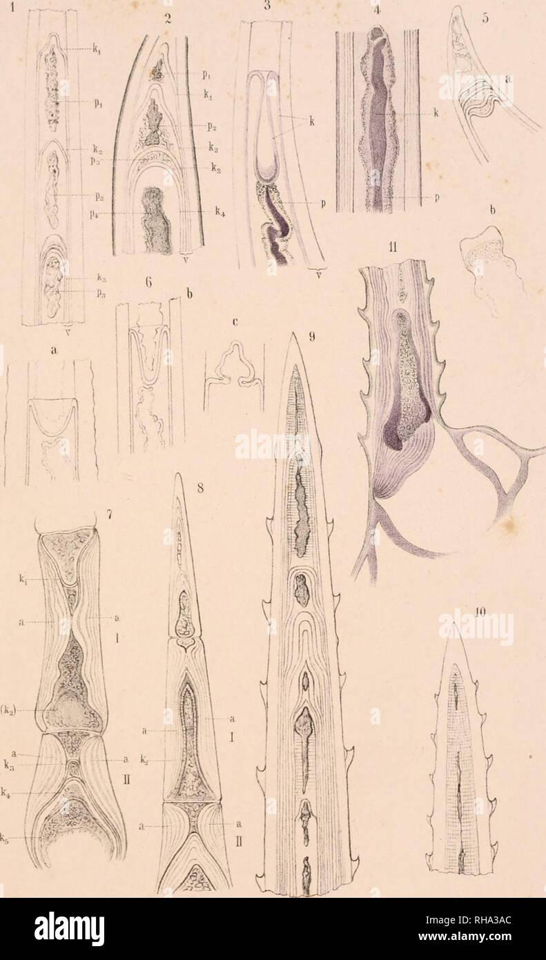 . Botanisches Zentralblatt; referierendes Organ für das Gesamtgebiet der Botanik. La botanica; Botanica. Bolaii.l>iilrall)lalll{.I.XXXYll 1889. Tal'. 1.. FG.KoMde], ;rt.isi.. Anst ,v Th.Pischur. Cassi;J. Si prega di notare che queste immagini vengono estratte dalla pagina sottoposta a scansione di immagini che possono essere state migliorate digitalmente per la leggibilità - Colorazione e aspetto di queste illustrazioni potrebbero non perfettamente assomigliano al lavoro originale. Botanischer Verein, Monaco; Botaniska sällskapet, Stoccolma; Association internationale des botanistes; Deutsche Botanische Gesellschaft. Jena [ecc. ] G. Fischer [ecc. ] Foto Stock