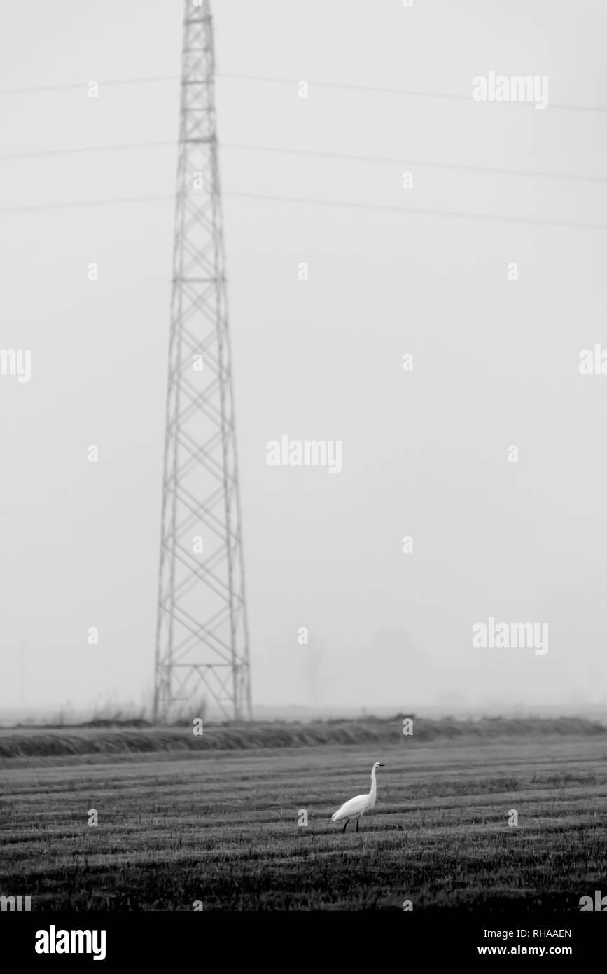 Heron in piedi in un campo di risone in prossimità di una linea elettrica aerea Immagini Stock