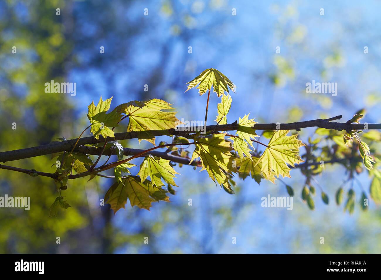 Acero Blu Giapponese acer palmatum (palmate maple), (acero giapponese), (liscia