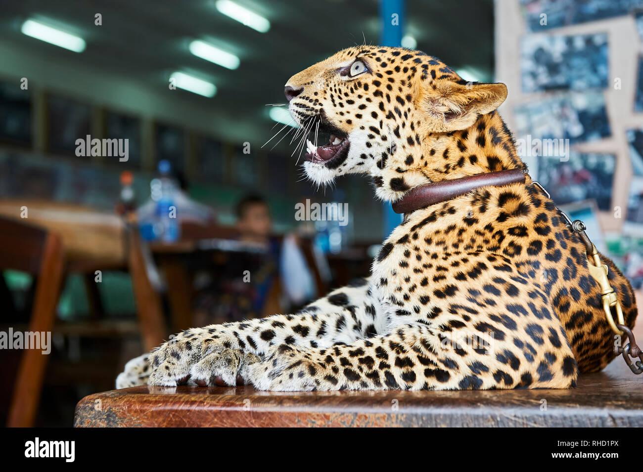 Un cub nella custodia di un giardino zoologico in Kanchanaburi, Thailandia. Esso è presentato dai suoi proprietari per i turisti; un mezzo per raccogliere le donazioni Foto Stock