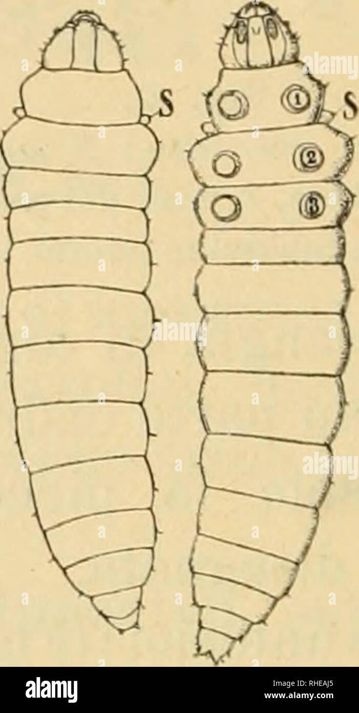 . Bollettino del Laboratorio di zoologia generale e agraria della R. Scuola superiore d'agricoltura a Portici. Zoologia; zoologia, economico; Entomologia. Un Fig. 5. Larva : un dal dorso , B dal ventre (ingrandita quasi dieci volte). A B Fig. 6. Prepupa: un dal dorso, B dal ventre, S lo stigma, 1-3 accenni delle zampe toraciclle ( ingrandita quasi sei volte ). delle larve di lepidotteri compresa la filiera. Nella parte ven- trale del torace si vedono sotto la cuticola gli accenni delle zampe. Crisalide - La crisalide (Fig. 7) ha la parte anteriore del capo prolungata in forma di appendice triangolare a Immagini Stock