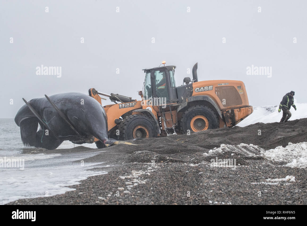 Dopo il successo della caccia, un giovane bowhead whale è portato a riva con l aiuto di un caricatore frontale. Foto Stock