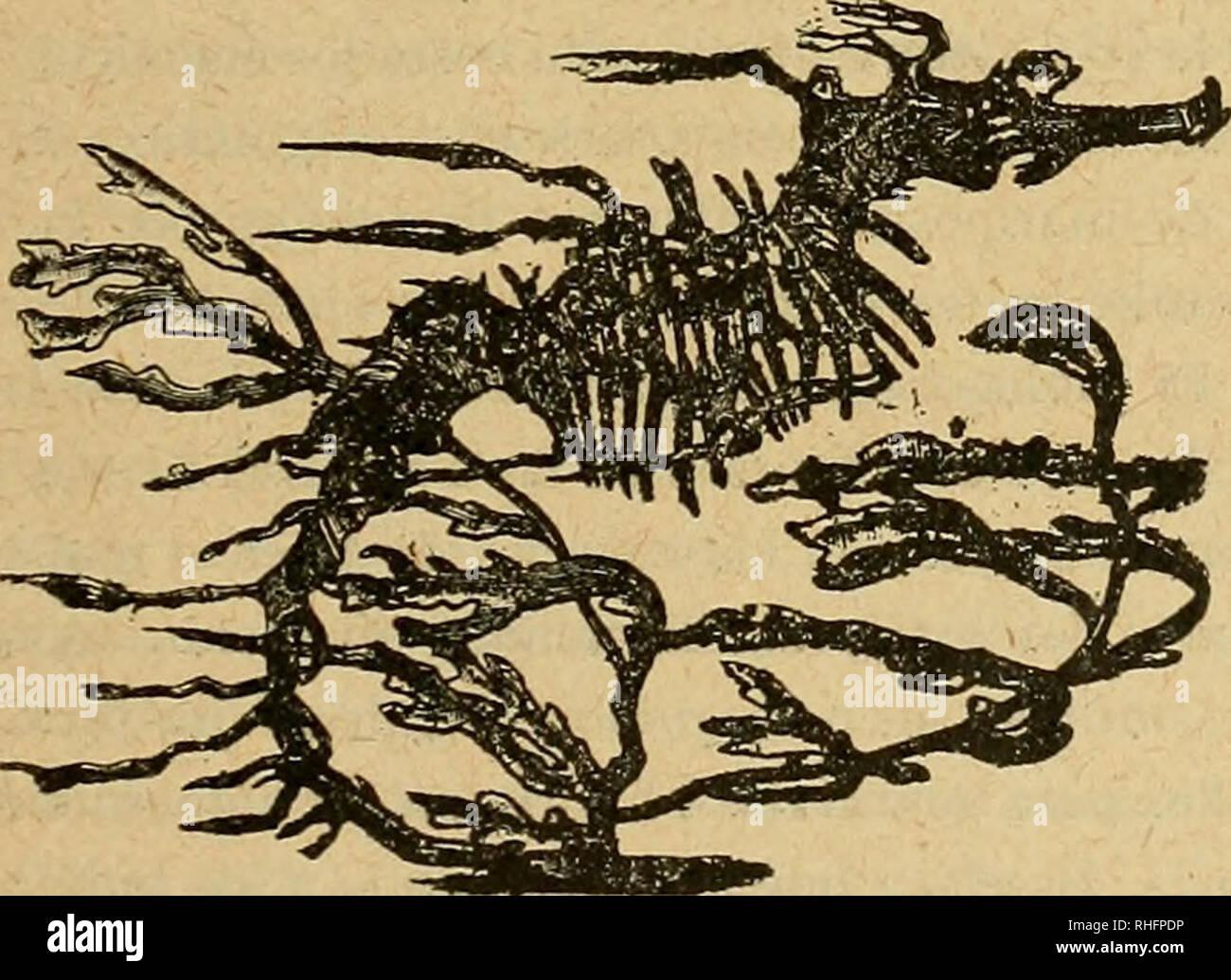 """. Boletín del Museo Nacional de Chile. Storia naturale. Bernardino Quijada B.-catálogo ilustrado 101 '- . 1 """"Io ¿ 'í* E ^*; """"**>_ i j i'.SB ¿ g&íoi i """" V • W^k ¿ ÉL *?y, gigSfik / 3 '* ^ ^"""" ^ft* 'oSL : *> r?>¿ ^PMBBBIiSw*£ r?6¿ - < ú . •-;I- ;' s-! Fig. 23.-Araña de Forbes (Ornithoscatoides decipiens). Conviene notar en seguida que también hai Dípteros i, lo que es mas curioso, Lepidópteros, que toman el color i la forma de los Himenópteros venenosos Aculeados o. L'ESTO sucede, por. Fig. 24.-Peje-tiras (eques Phyllopteryx). ejemplo, con el Braquícero chileno conocido con Foto Stock"""