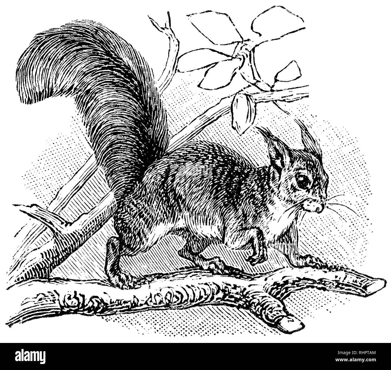 1902 incisione di un rosso eurasiatico scoiattolo (Sciurus vulgaris). Immagini Stock