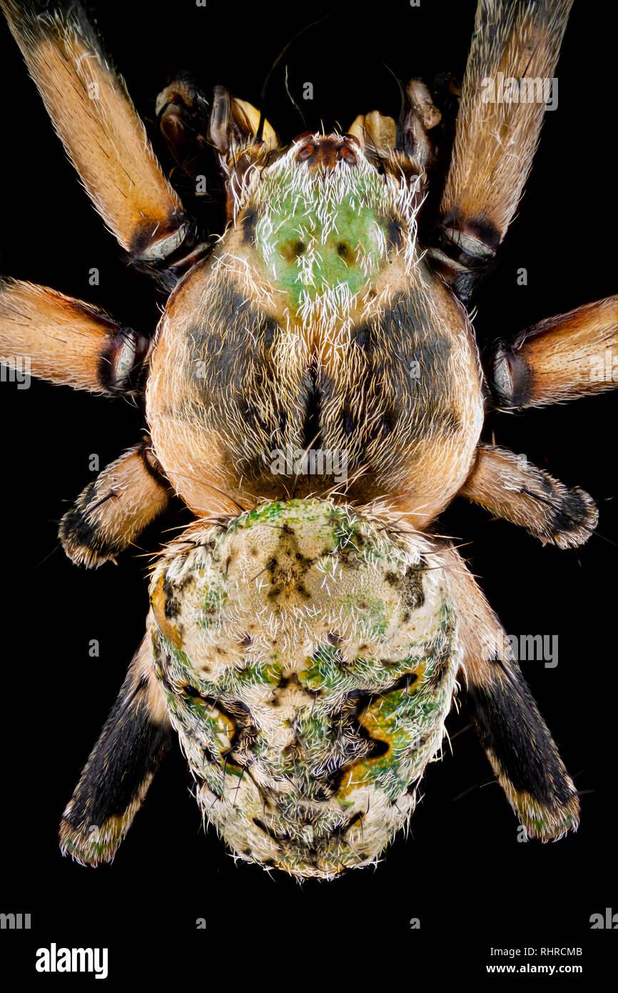 Macro estreme - Vista dall'alto di un ragno orbweaver ingrandito 4 volte Immagini Stock