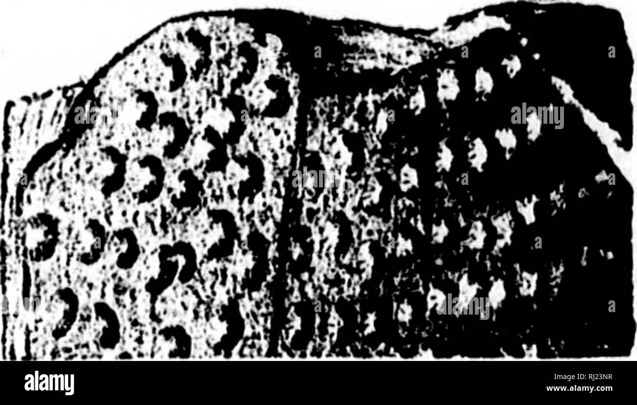 . North American geologia e paleontologia per l'uso di dilettanti, studenti e scienziati [microformati]. Paleontologia; Paleontologia, Geologia; Paléontologie; Paléontologie; Géologie. Fig. 1132.-UampaacauthuH typus. Vista laterale di un Bplne maguine • ~ • tlou maguined dorso 2 dlam., e trasversali del sec- Sur. III., vol. 6, p. 474, Keokuk Gr. squamosus, San Giovanni & Worthen, 1876, Geo. Sur. 111., vol. 6, p. 473, St. Louis Gr. typus, San Giovanni & Worthen, 1876, Geo. Sur. 111., vol. 6, p. 472, St. Louis Gr. Gisacantiius, St. Jonn & Worthen, 1876, Geo. Sur. 111., vol. 6, p. 440. [Ety. geison, a b Foto Stock