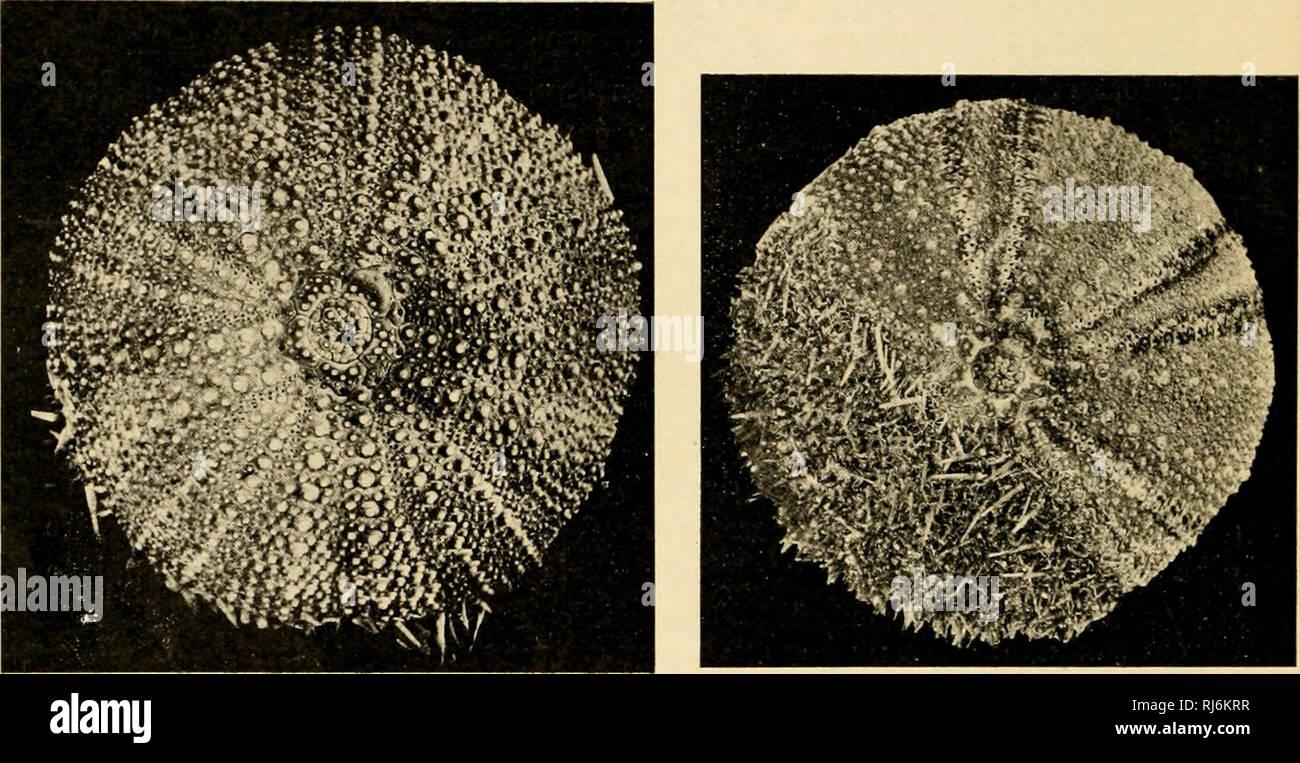 . EÌchinodermes. Echinodermata. 122 lAiNi; i>i: FUANci;. j;ciiiNoi)i:nii:s Le Ps. nùliaris est trí¨s répandu sur nos Cà'tes de la Manche où il remplace le Pai lividus, tandis que sur nos Cà'tes de l'Atlantique il est souvent associé à ce dernier. C'est une forme essentiellement littorale qu'on trouve h mer basse contre les rochers, sous Les pierres ou même dans le sable. Caillaud l'un vu ex des scavi identiques à colles du Par. lividus. Sui compressori le connaît à Arcachon, mais il discendere beaucoup plus au S., sur les cÃ'tes du Portuf^al et du Maroc. Il man(jue en Méditerranée et c'e Foto Stock