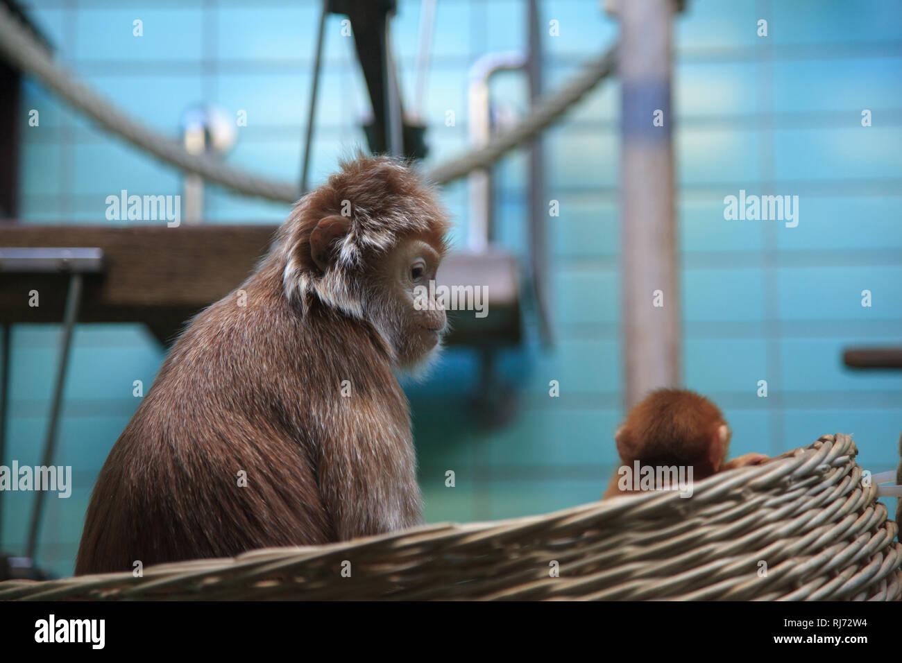 Eine Affenmutter schaut auf Ihr kleines Baby im Korb Immagini Stock
