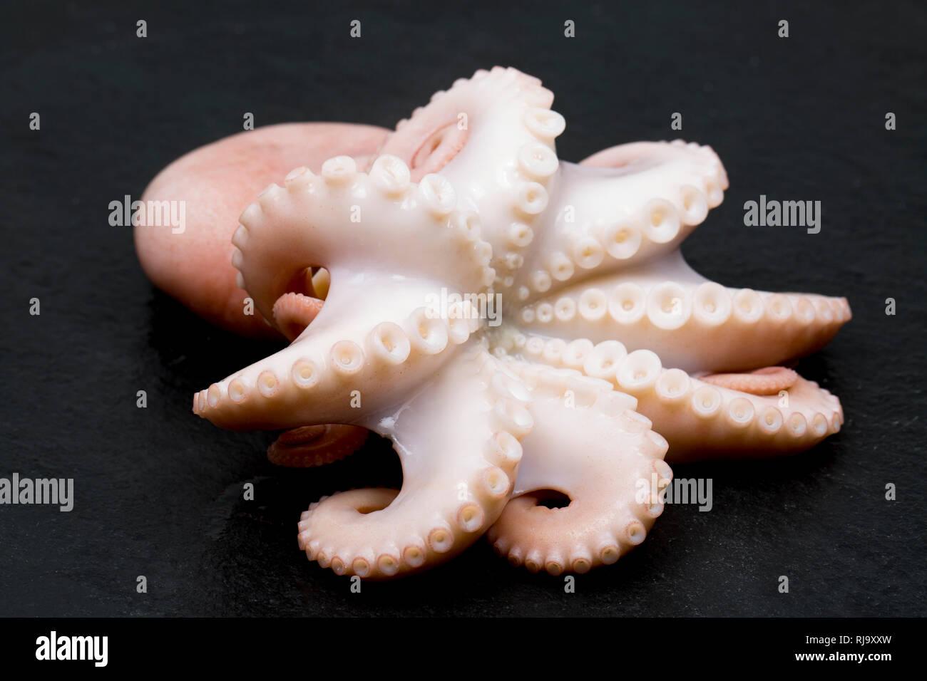 Le ventose e i tentacoli di un minore cotti o moscardini, Eledone cirrhosa, che è stato pescato commercialmente nelle acque del Regno Unito e acquistate da un fornitore Immagini Stock